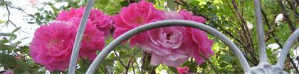 roseborder.jpg